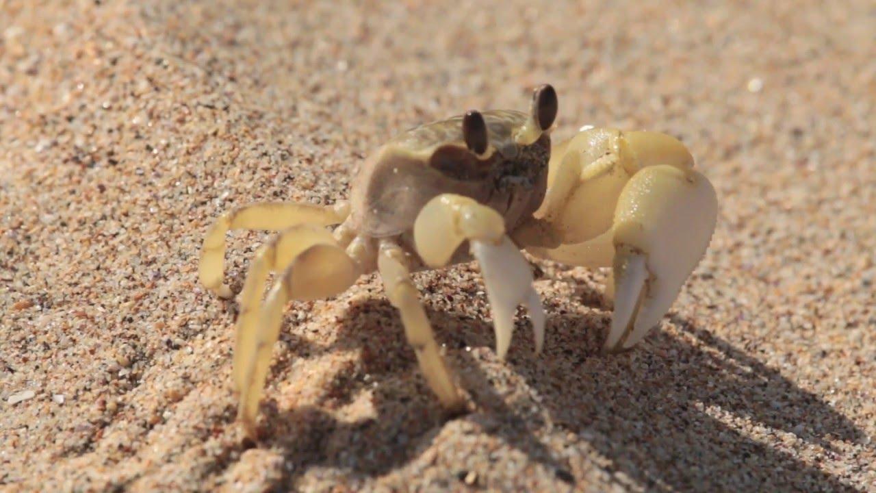 Sand Crab at the Beach