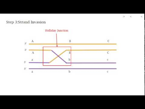Homologous recombination the holliday model youtube ccuart Gallery