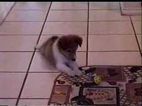 Sheltie Puppy VS Toy