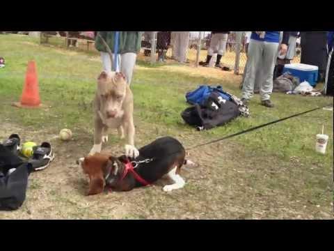 Bully XXL pitbull, 5 MONTHS LEONIDUS, the largest XXL blue pitbull, the biggest pit bull