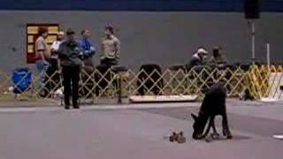 Doberman Obedience (utility)