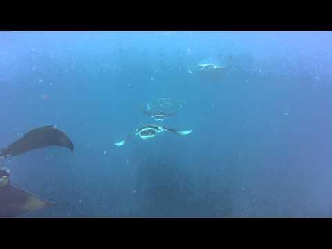 Manta Rays, Prodivers Vakarufalhi, Maldives
