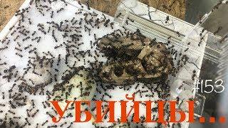 Каребара мертва, но я еще нет...Переселение муравьев Messor structor