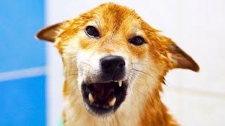 Как помыть сиба ину /шиба ину / собаку