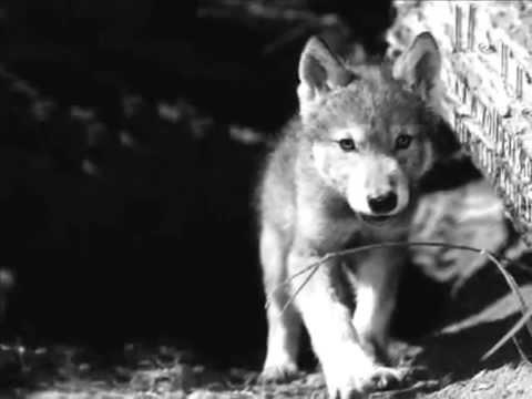 Wolf Wars 2014