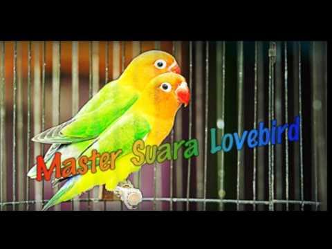 Master Audio Pancingan Lovebird Agar Cepat Ngekek