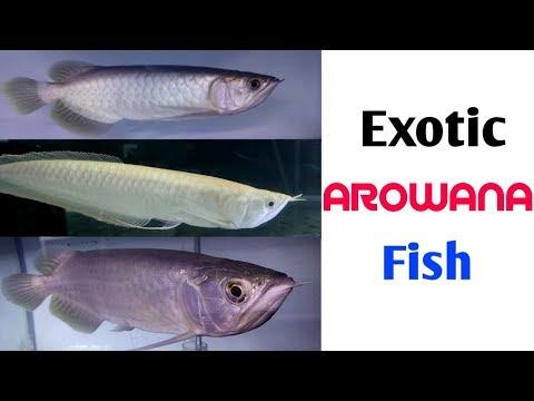 Exotic Arowana Fish - Batik Gold Arowana, Chilly Super Red Arowana & Albino Red Eyes Arowana