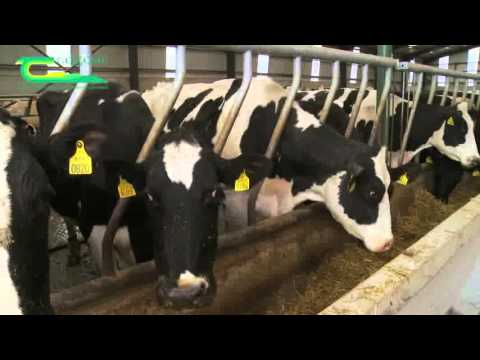 Cubicle design for dairy cows