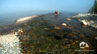 Wading in a river of the Baikal