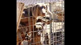 Puppy Mill Bust - Lucerne Valley; San Bernardino County, California 6 February 2015