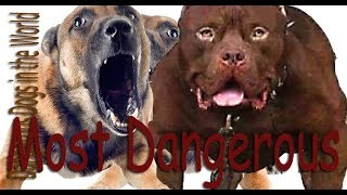 Dogs Tested to See Whether They'd Defend Owner During Home Invasion-Dangerous Dogs