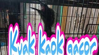 Kuak Kaok Gajor