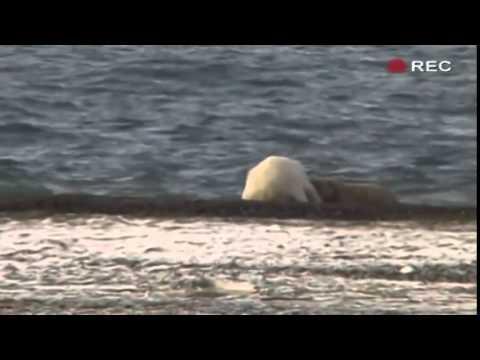 BBC documentary 2014 Polar Bear Alcatraz Nature Documentary