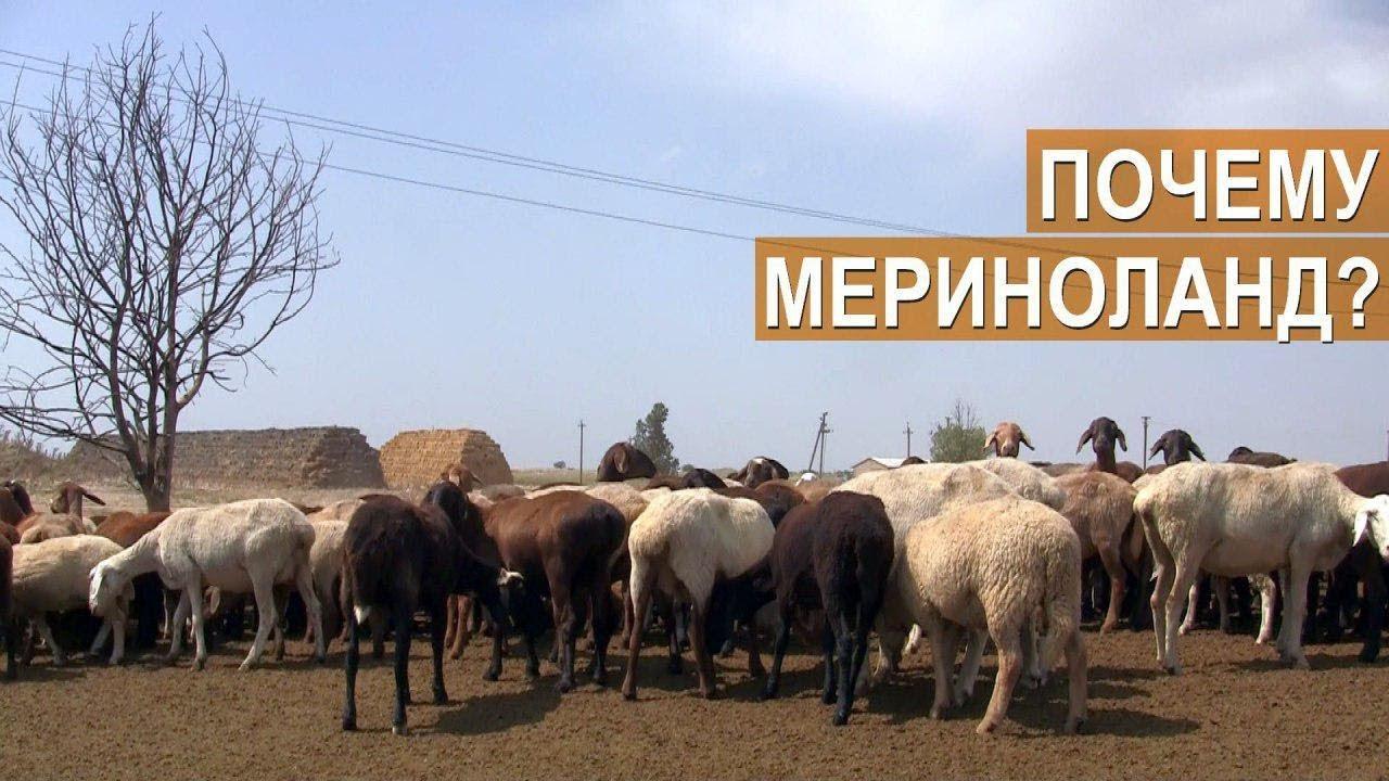 КФХ Сулейманова. Крым. Причины перехода на разведение овец породы Мериноланд.
