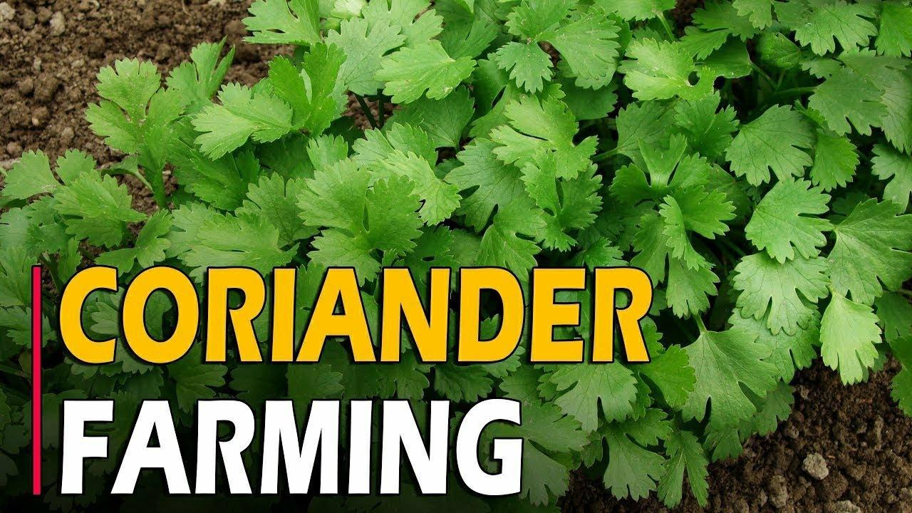 How To Grow Coriander Dhaniya Cilantro At Home Coriander Farming Coriander Cultivation Youtube