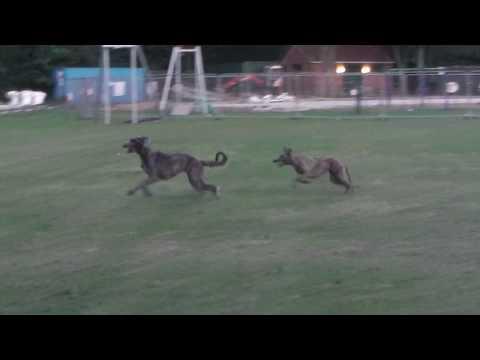 2 Year Old Deerhound x Wolfhound & Lurcher Playing