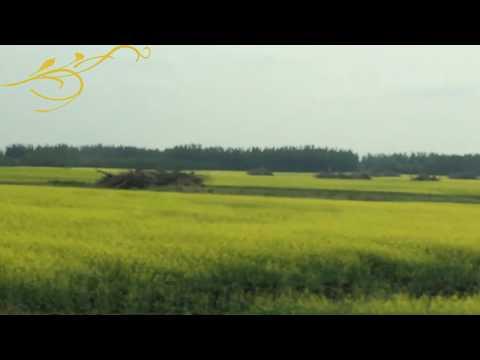 Canola Field In Canada