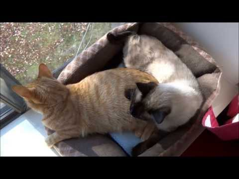Two Cats, One Cat Bed.  (Max and Mya in HD!)