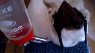 Чем кормить летучую мышь.  Знакомство с кошкой.