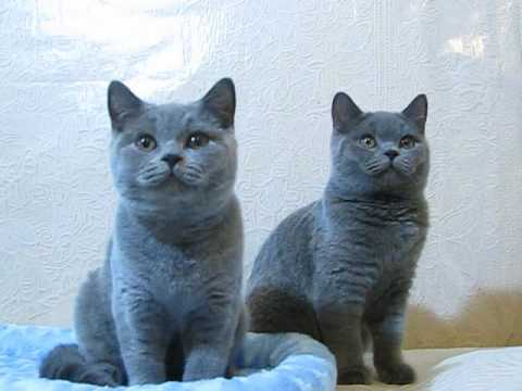 Stasy Lord cattery (blue boys )
