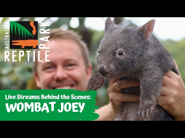 MEET OUR NEWEST JOEY   AUSTRALIAN REPTILE PARK