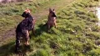 Ianté & Indiana Von Quinshaus 25 Weeks Old German Shepherd's Puppys
