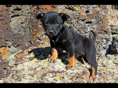 Lee at 6 weeks - Australian Kelpie Puppy