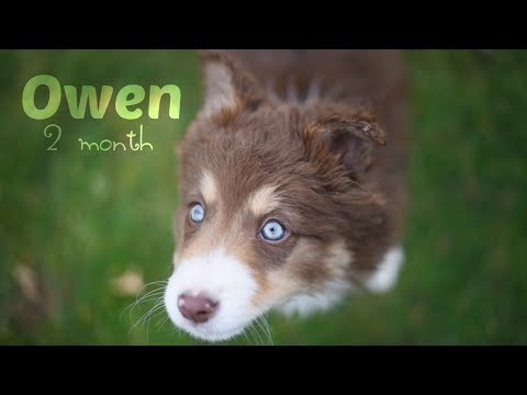 Owen • Chiot Border collie 2 mois - YouTube