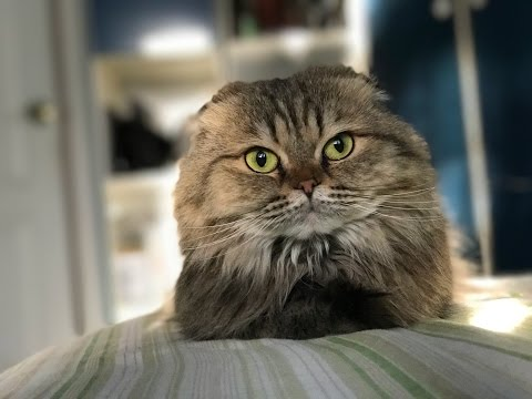 Scottish Fold cat VERY dont like to be hair combed
