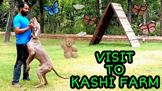 KASHI FARM | Weimararner Rare Breed | Working German Shepherd | Fox Terrier | Amstaff | Scoobers