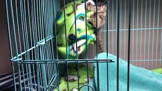 Best CHEAP Baby Marmoset Monkey Cage SETUP