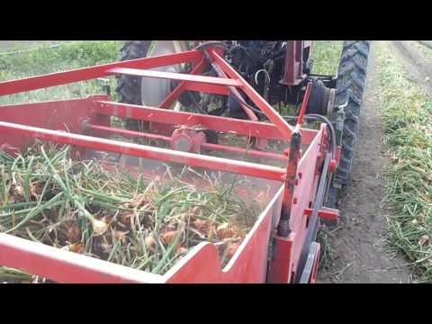 onion harvesting (Turkey)