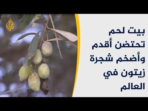 أقدم شجرة زيتون بالعالم بفلسطين عمرها 5000 عام