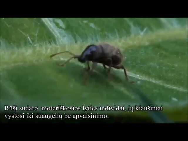 Ligustrinis pjov?jas (Otiorhynchus smreczynskii) LV (LT subtitles)