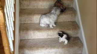 The puppies first time using the stairs.  Too funny!