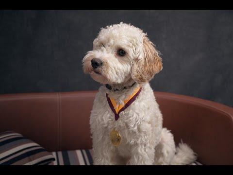 Teddy - Cavachon - 5 Weeks Residential Dog Training