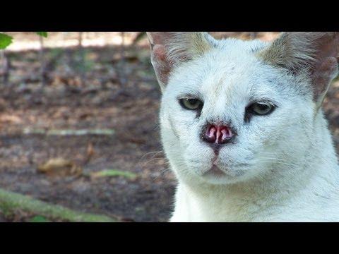 White Serval Nose Surgery