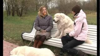 Абруццкая овчарка (Маремма) Живой дом № 81
