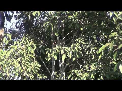 แห่ดูต้นไม้เต้นระบำ ที่ หนองคาย  ชาวบ้านวิ่งหาเลขเด็ด