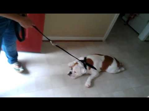 lazy bulldog puppy... move it charlie!!! - YouTube