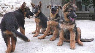 Щенячьи Разборки. Щенки Немецкой овчарки 3 мес. Puppies German Shepherd 3 months.