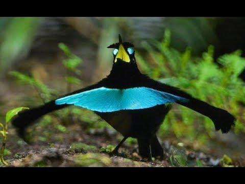 New Guinea Tropical Birds - Tropical Island Rare Bird Species (Documentary)