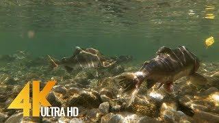 Salmon Run at Skagit River - 4K UHD Underwater Salmon Relax Video - 2 Hour