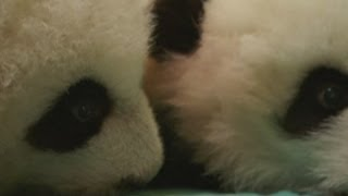 Super cute twin giant panda babies at Atlanta Zoo