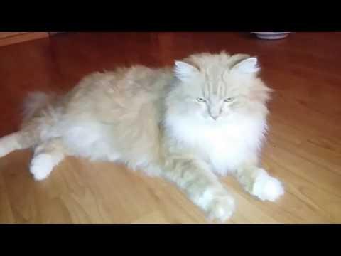 Шикарный кот во всей красе. Полуперс.