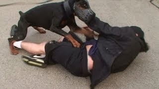 Doberman Attack Training (K9-1.com)