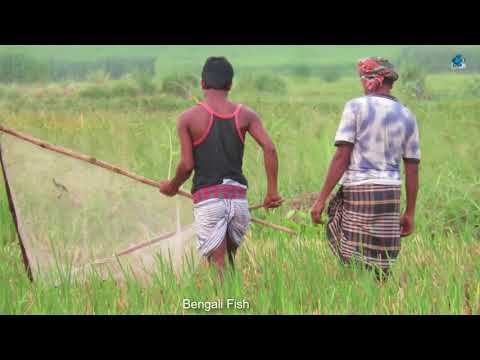 Zali Net Fishing By Bengali Peoples | Traditional Net Fishing videos