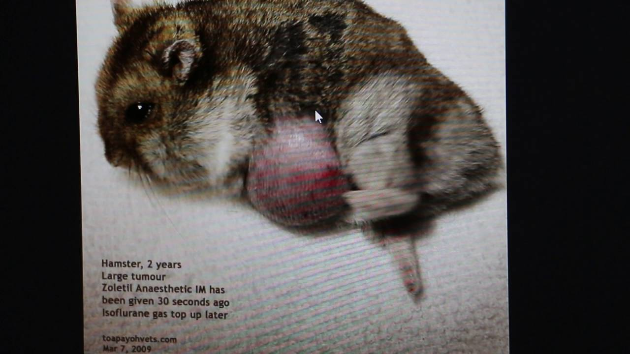 A 2-year-old dwarf hamster has a soft chest