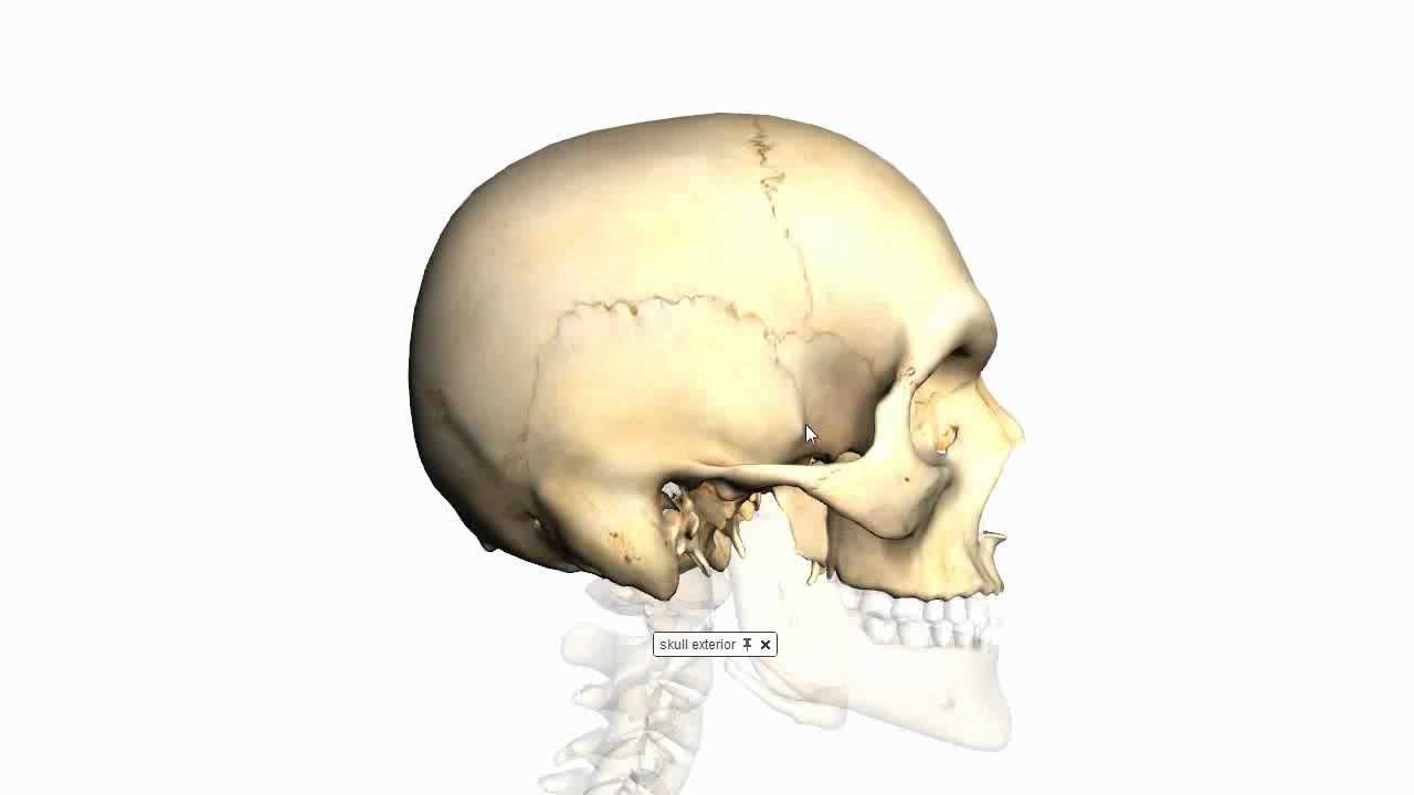 Skull Tutorial (3) - Sutures of the skull - Anatomy Tutorial - YouTube