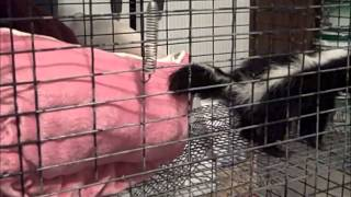 paws sc com miss scarlett baby striped skunk verbally encouraging us to open the cage door